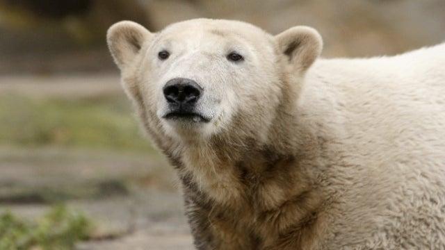 Knut The Polar Bear Is No Longer With Us