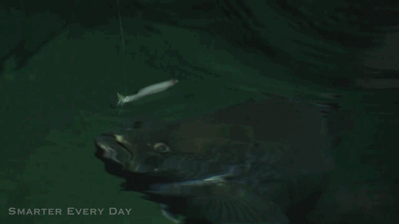 High Speed Footage Reveals The Alien Mechanics of Fish Feeding