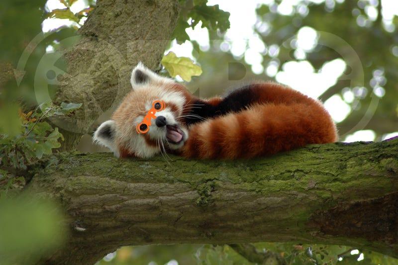 Red Panda is Oppo's New Mascot!