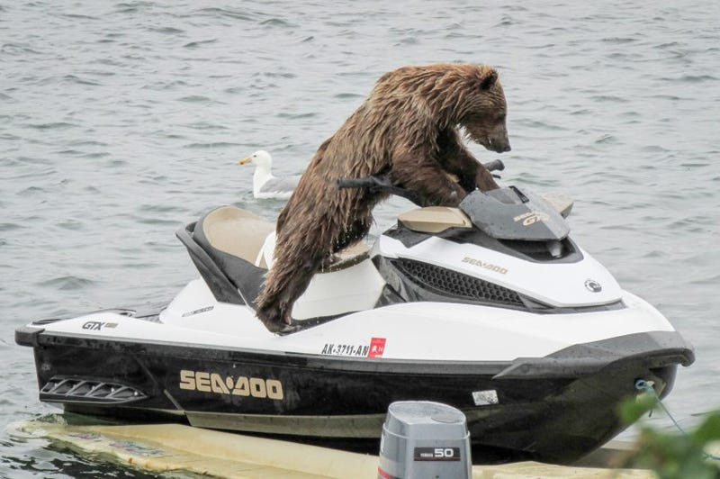 HOLY SHIT- THIS BEAR IS RIDING A SEA DOO. ALASKA MUCH?