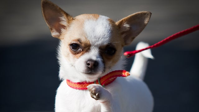 Chihuahua Finds Missing Kids, Proves Chihuahuas Aren't Useless After All