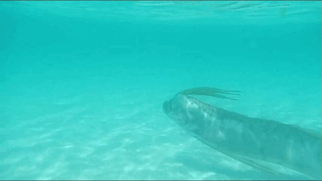 The Most Incredible Footage Of A Live Oarfish We've Ever Seen