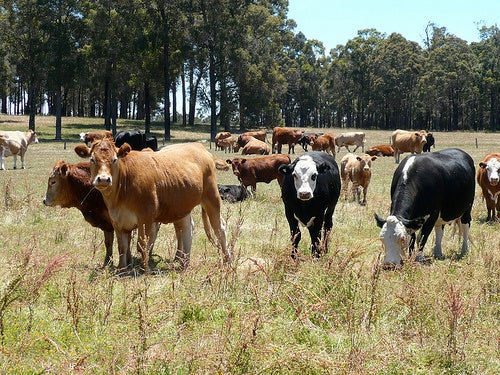 Cow Manure Will Power Data Centers In Coming Years