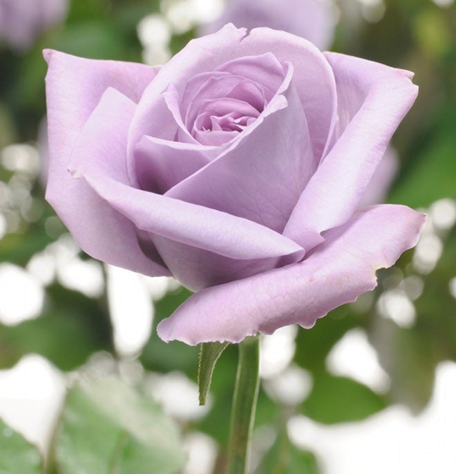See The World's First (Nearly) Blue Rose