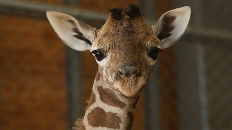 Copenhagen Zoo Kills 'Surplus' Giraffe, Feeds It to Lions and Big Cats