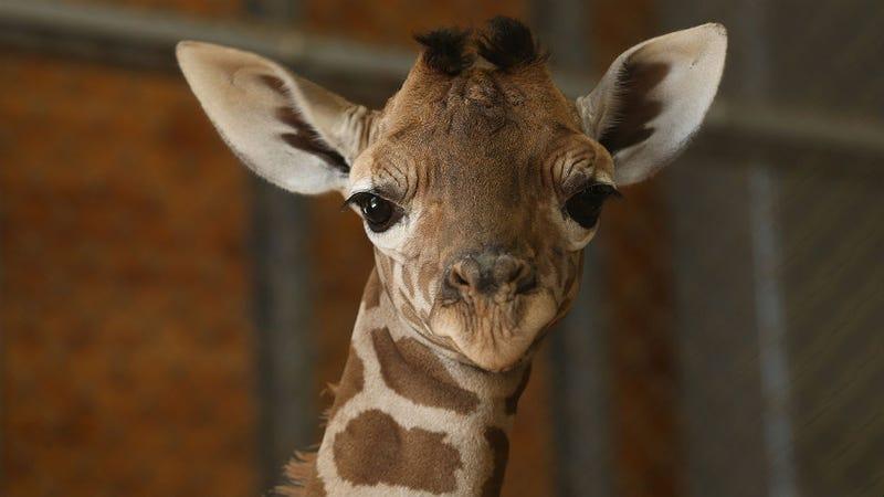 Copenhagen Zoo Kills 'Surplus' Giraffe, Feeds It to Lions and Big Cats