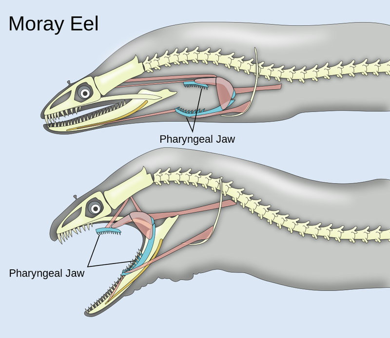 Did you know moray eels have secondary jaws just like Alien xenomorphs?