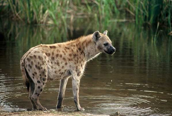 Read This If All You Know About Hyenas Came From The Lion King