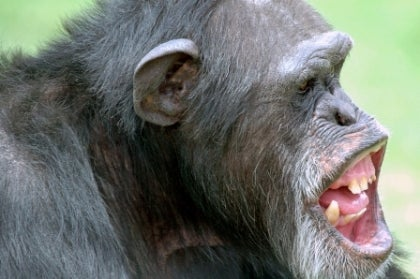Chimpanzees Take Us Beyond Good And Evil