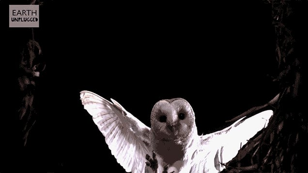 A Slo-Mo Mouse Eye View of a Barn Owl Swooping In For the Kill Is Terrifying