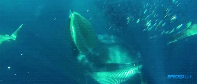 Scuba diver almost gets swallowed by 49-foot whale