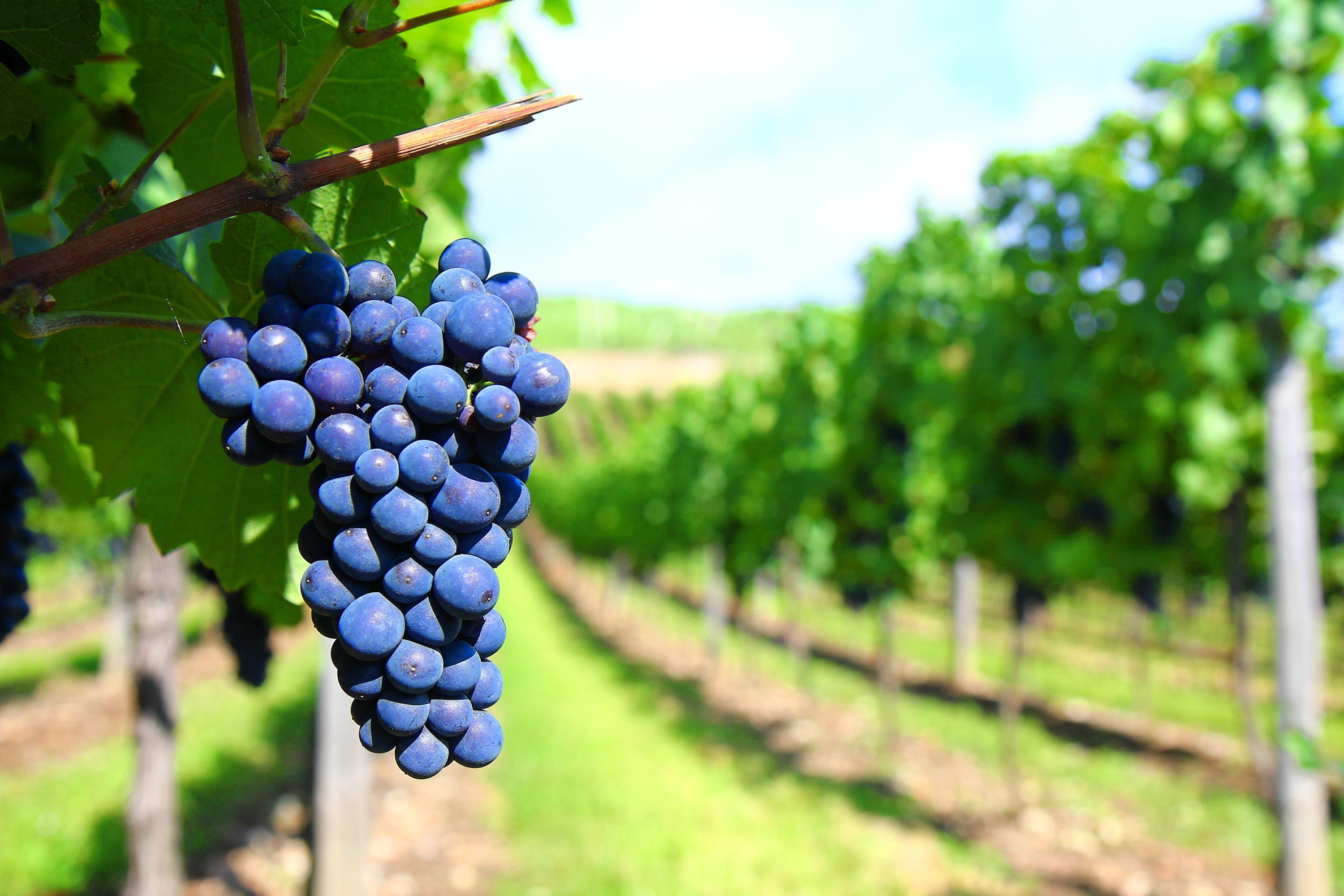 Raw Materials Commodity Chain Project Wine