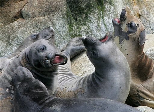 Sexual Humiliation Forces Young Elephant Seals to Take Their Chances With Traffic