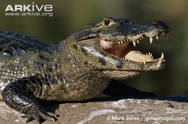 Sunday Crocodilian - Caiman latirostris Edition