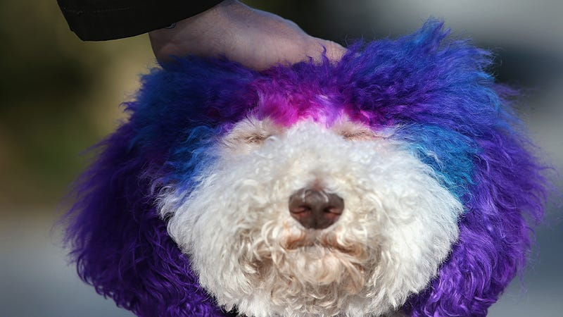 This Purple-Haired Therapy Dog Wins at Life