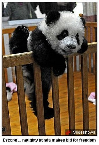 Rambunctious Baby Pandas Tax Moms' Strength