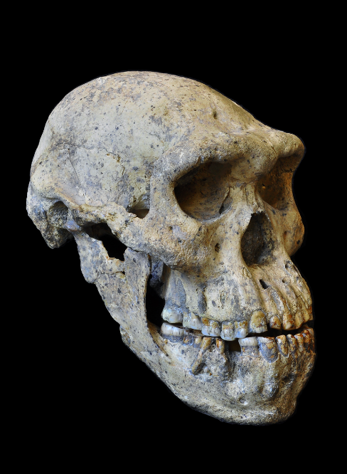 This skull may have just rewritten the book on human evolution