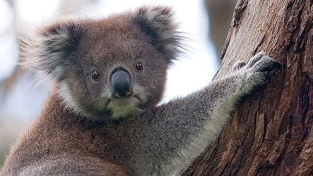 Why Koalas Have Human Fingerprints