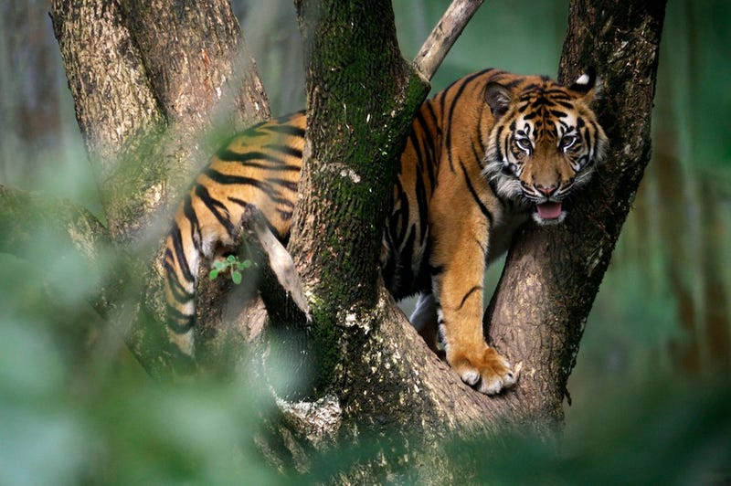 Man-Eating Tiger in India Claims 10th Victim