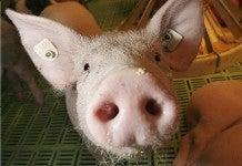 Disgusting Pigs