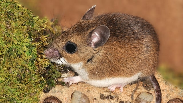 Adorable Deer Mice Being Slaughtered Just Because They Carry a Deadly Virus