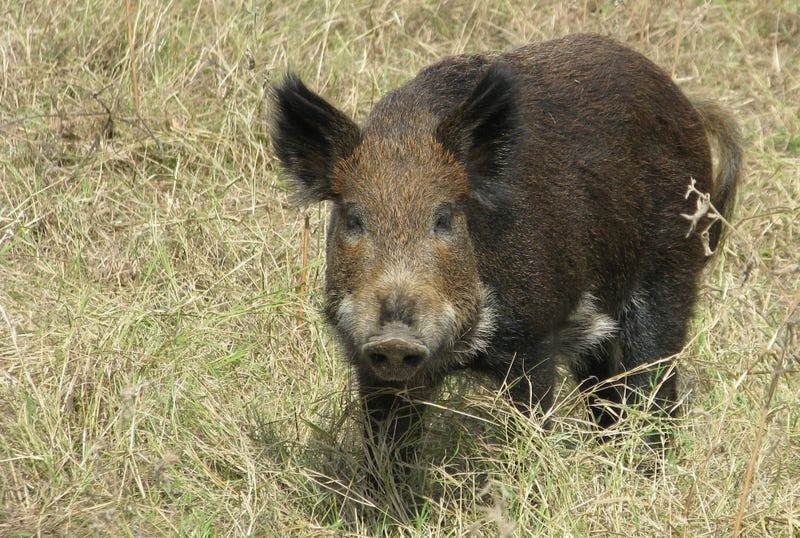 Hunter Accidentally Shoots Girlfriend, Says He Was Aiming For Hog