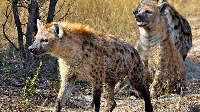 Hyenas prove that complex societies give you big brains
