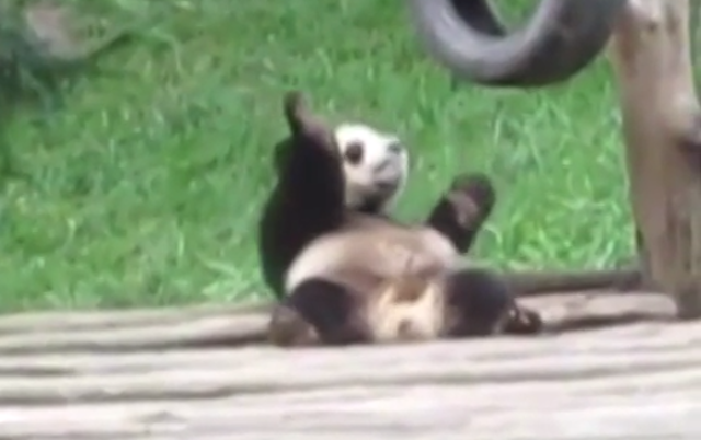 This Is A Panda Bear Doing The Nae Nae