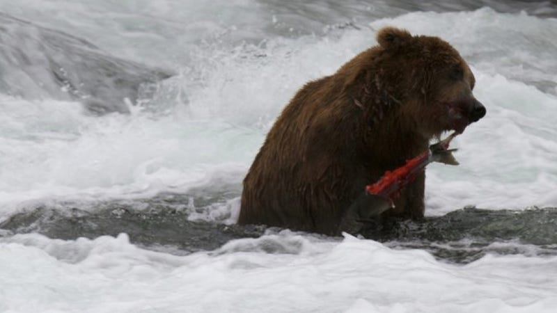 Here is a live video stream of brown bears catching salmon. You're welcome.