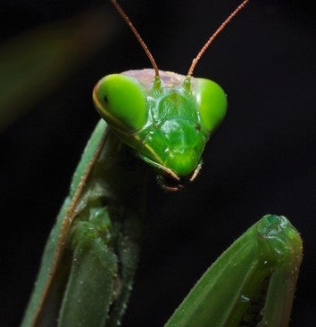 The Female Praying Mantis Was Framed!