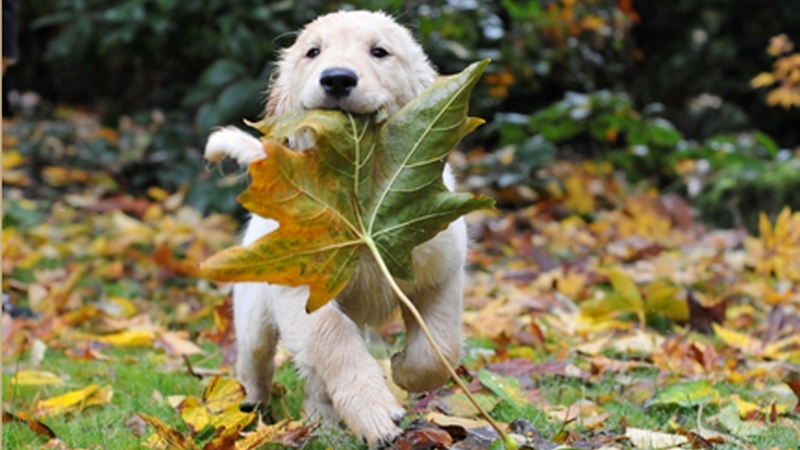 Puppy Carrying Giant Leaf Is an Inspirational Poster Waiting to Happen