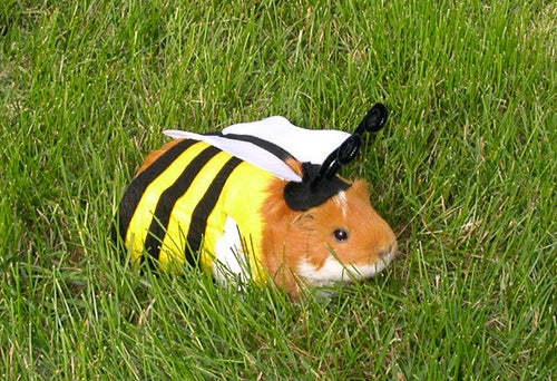 Humiliating Pet Costumes Now Available For Guinea Pigs