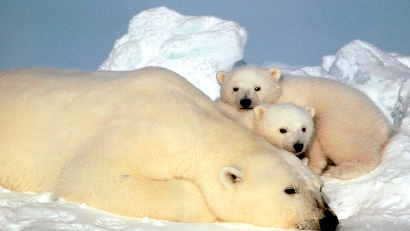 The U.S. Senate Is Busy Arguing About Dead Polar Bears