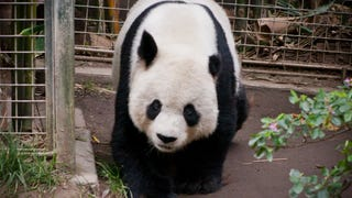 You'll Never Believe What It Costs To Rent A Panda From China