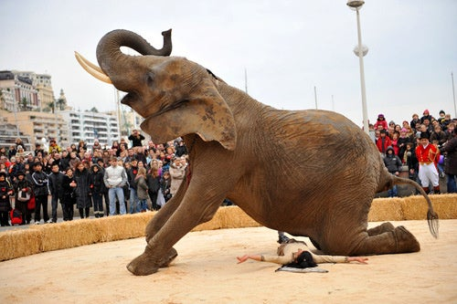 Startled Circus Elephant Tramples Trainer to Death