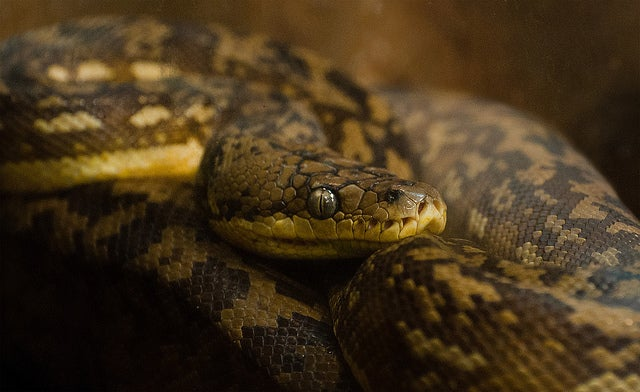 Are Humans Hardwired to Detect Snakes?