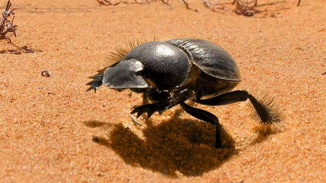 Dung beetles don't just run to poop, they actually gallop