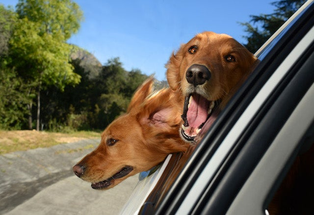Happiness is seeing happy dogs happily stick their heads out of cars