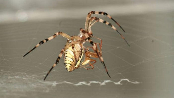 Why Male Spiders Prefer Virgins