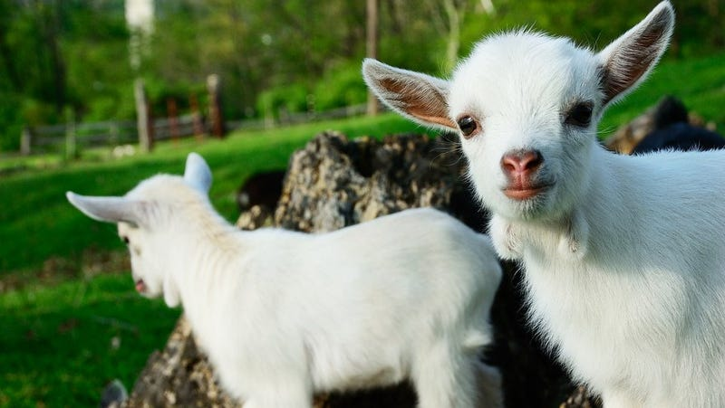 Goats Have Accents!