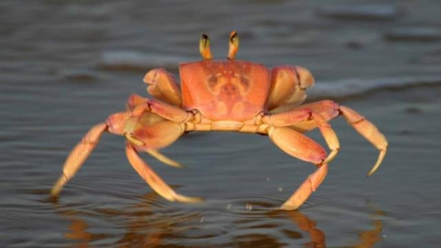 Strange mountain-climbing crabs ruled Hawaii over 1000 years ago