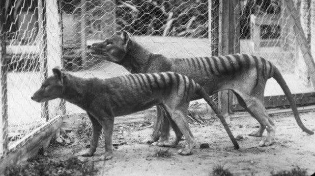 The Tasmanian tiger's fierce reputation was all a myth