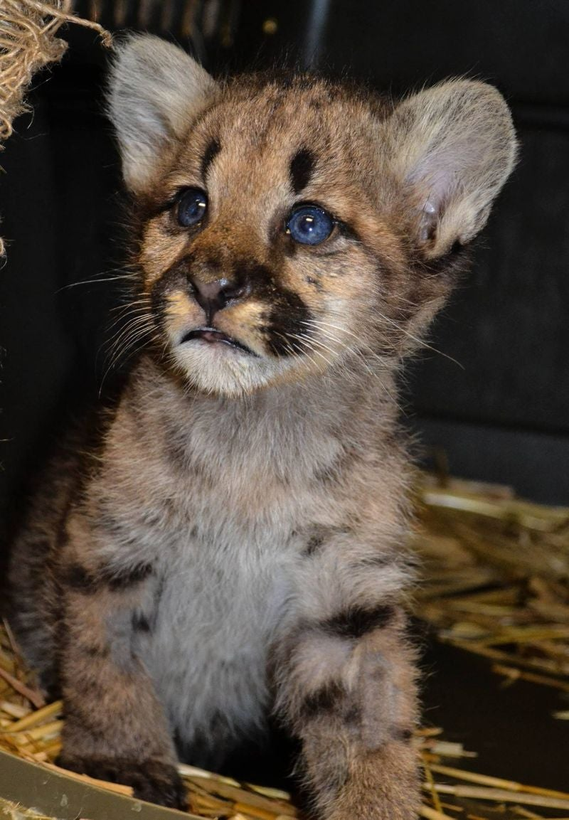 ZOMG [MOUNTAIN] LION AND TIGER BABIES, OH MY!!!