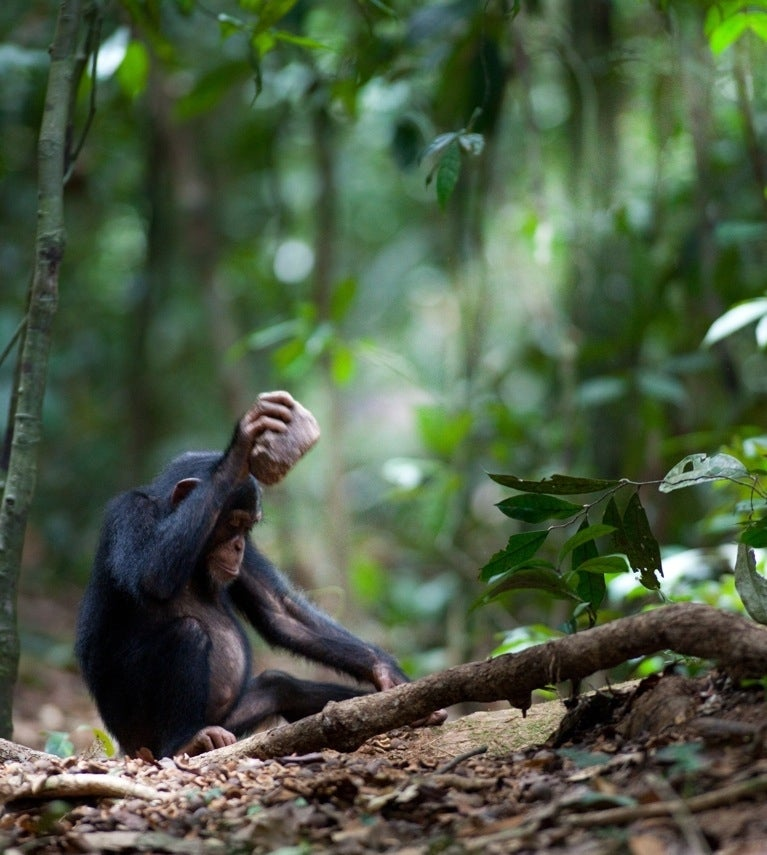 Chimpanzees have nutcracker neighborhoods