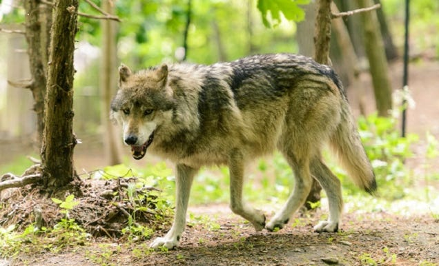 North America's Rarest Wolves Are Deemed Endangered...ish