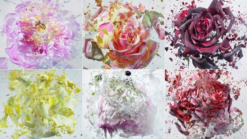 Flowers Shatter Like Glass Thanks to Liquid Nitrogen and an Air Gun