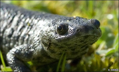 Rib-Popping Newt is the Amphibious Answer to Wolverine