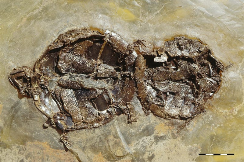 The First Ever Fossils of Vertebrates Who Died During Sex