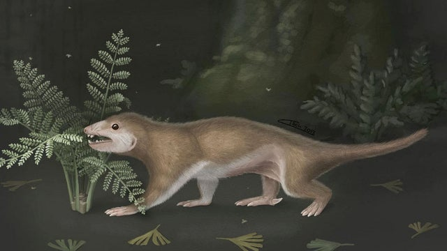 This furry Jurassic-era creature was not our ancestor