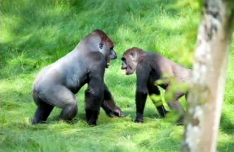 Gorilla Brothers Reunite, Eyes Everywhere Get Misty